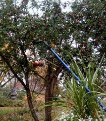 pommes 2018 dernière récolte
