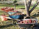 pommes 2017 dernière récolte